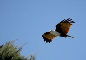 Brahminy Kite In Flight.