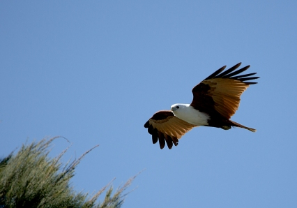 Brahminy Kite In Flight.