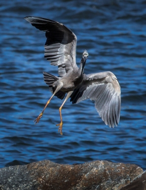 White Faced Heron coming in to Land