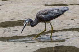 White Faced Heron Searching for Food