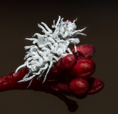 Ladybug Larvae-Aphid Destroyer