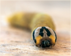 Caterpillar Face