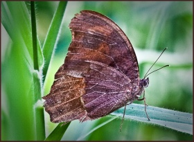 Evening Brown Butterfly