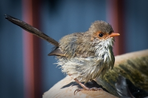 Superb Fairy Wren after the bath.