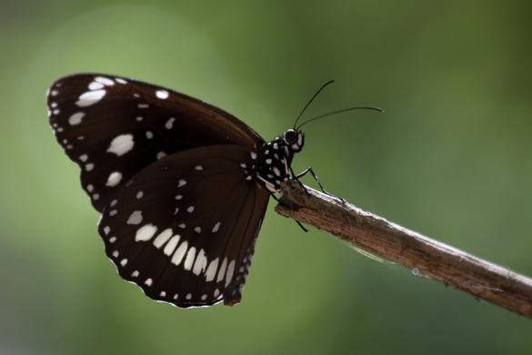 Oleander Butterfly