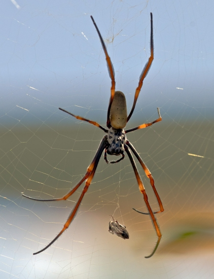 Golden Orb with Prey