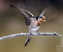 Hungry Welcome Swallow Chick.