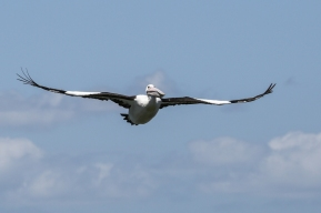 Pelican on the Broadwater_3