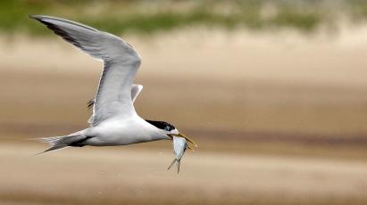 Tern with Fish_2