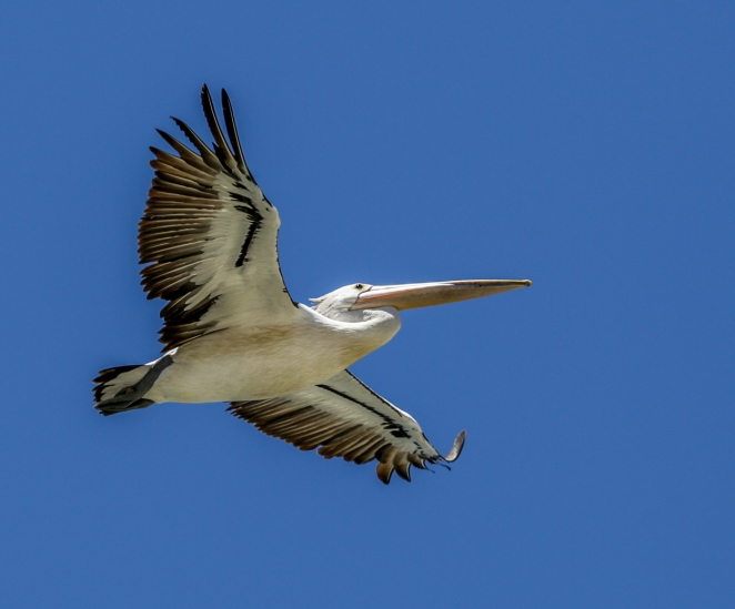 Pelican-on-the-Broadwater_2