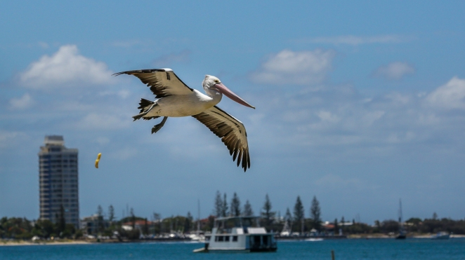 Pelican-on-the-Broadwater_3