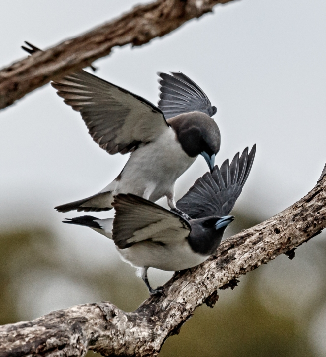 birds-mating
