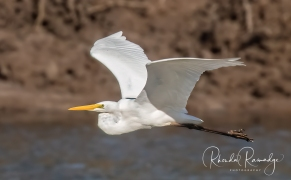 Great Egret in Flight - Gold Coast