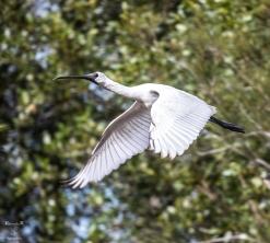 Royal Spoonbill in Flight