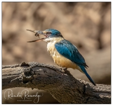 Sacred Kingfisher with Lunch