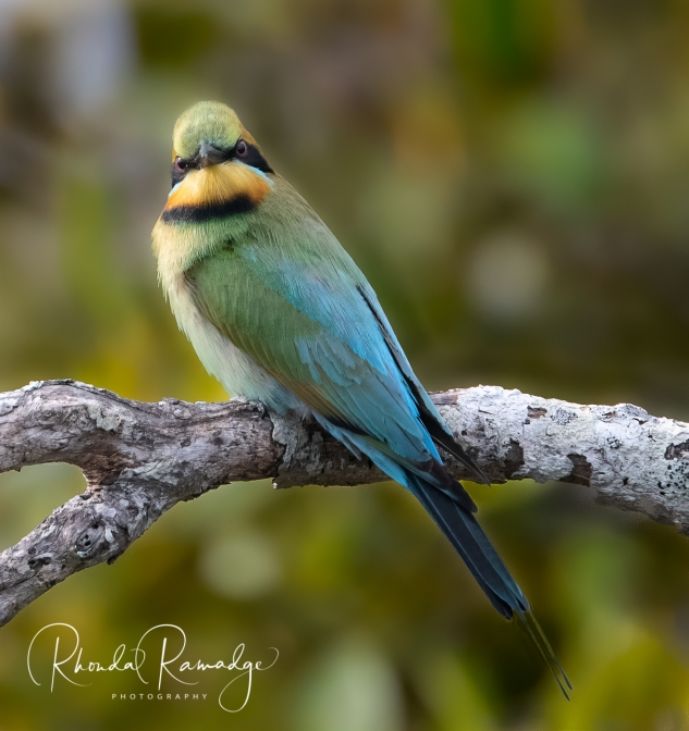 Watching You Watching Me Rainbow Bee Eater - Gold Coast