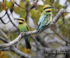 Rainbow Bee eater pair