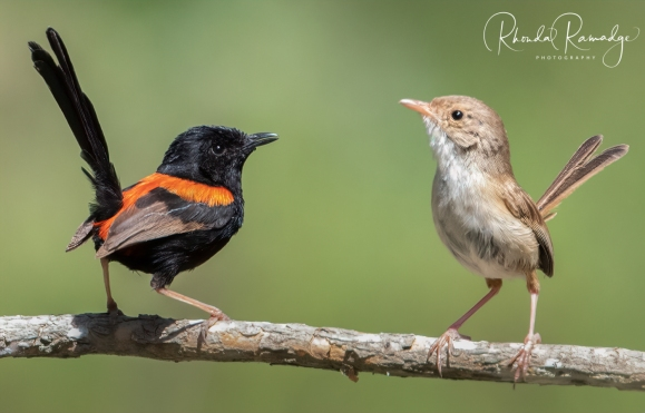 Red Backed Fairywrens